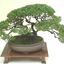 4_creeping_juniper